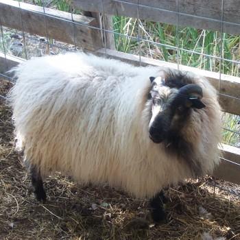 Badgerface ram lamb