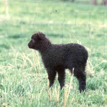 Loki Lamb