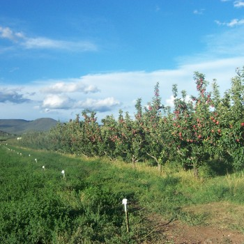 Apples & Hay
