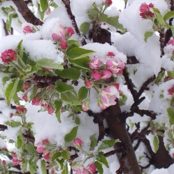 Frozen Blossom