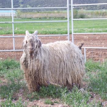 Dreadlock Goat