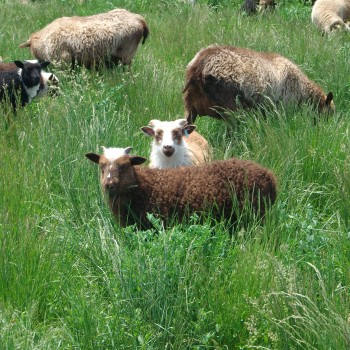 Lambs on spring pasture