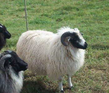 White Ram