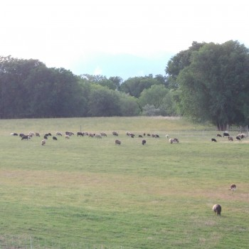 Sheep in the Long Pasture
